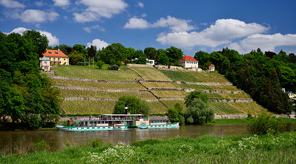 Historic paddle steamer on the Elbe, in the background vineyards - Photo: Frank Exß