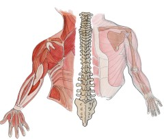 diagram of muscles