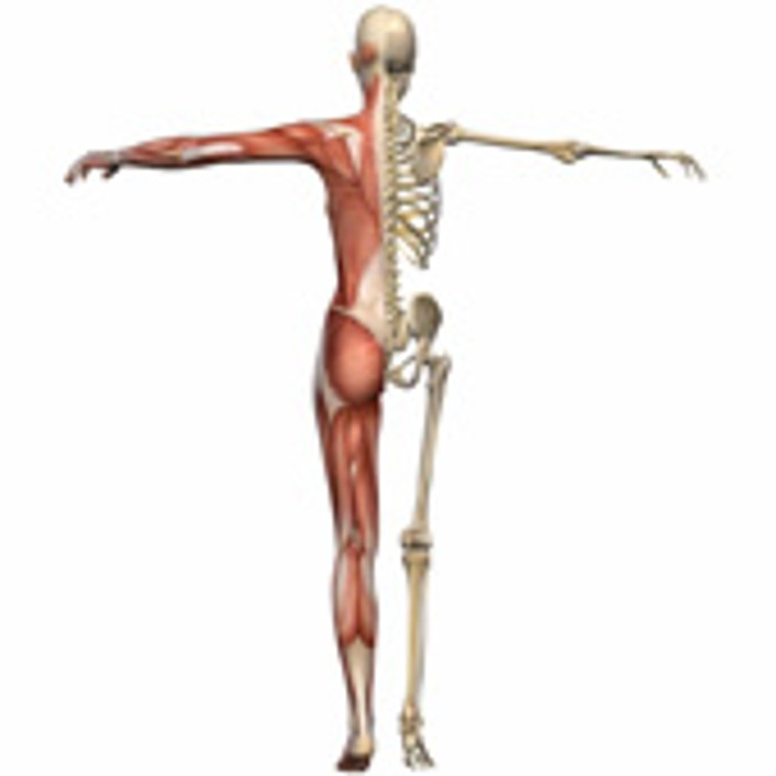 Fein Skelett Mit Muskeln Fotos - Menschliche Anatomie Bilder ...